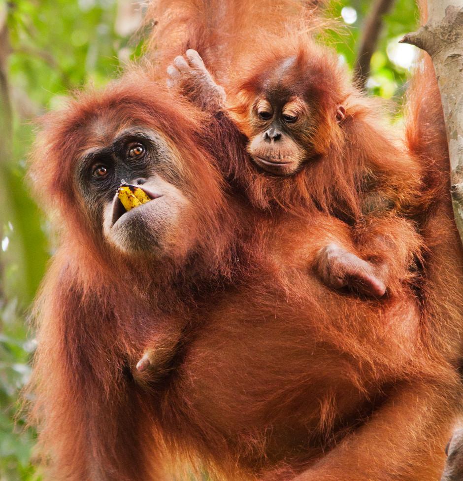 Orangutan med Baby, Leuser Nationalpark