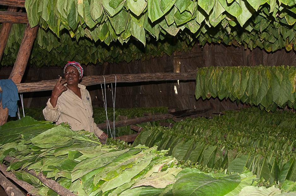 Feldschuppen zum trocknen der Tabakblätter