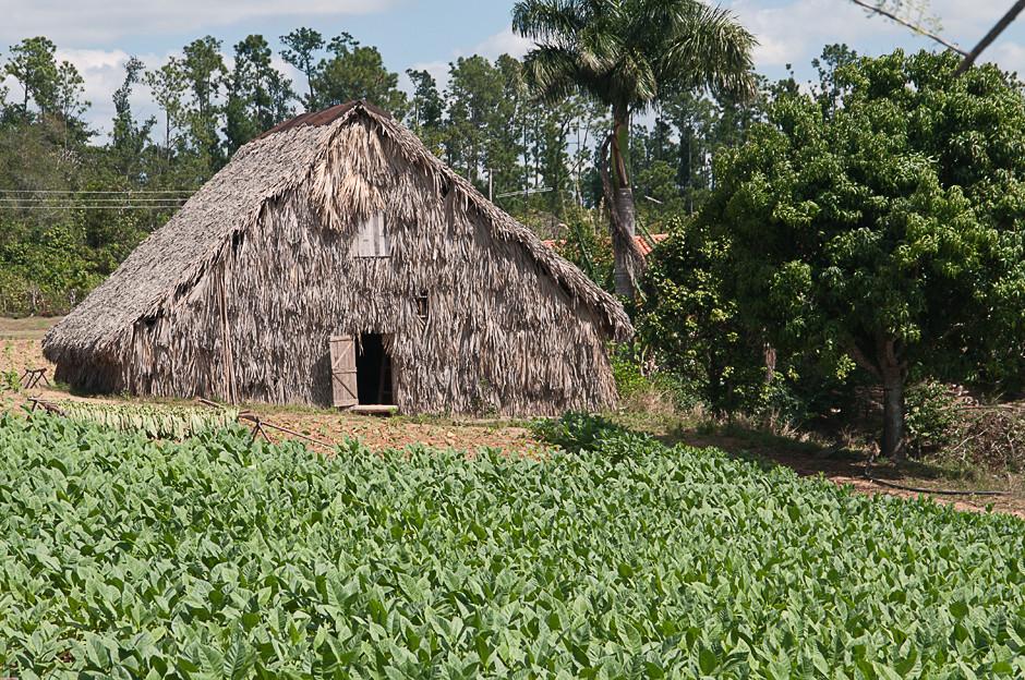 Feldschuppen und Tabakpflanzen