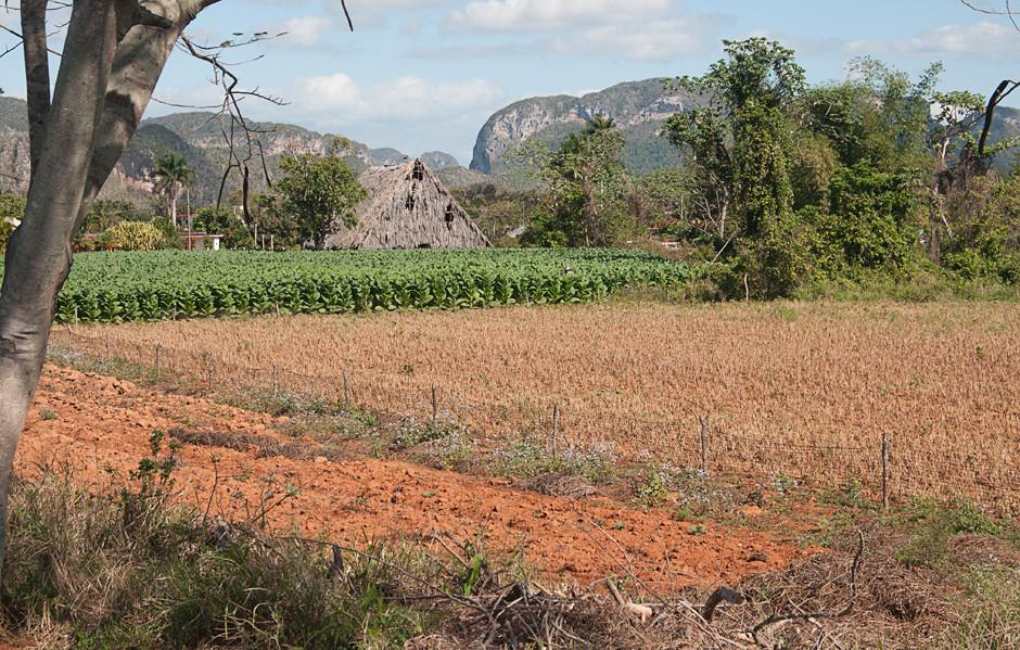 Tabakfeld und Feldschuppen