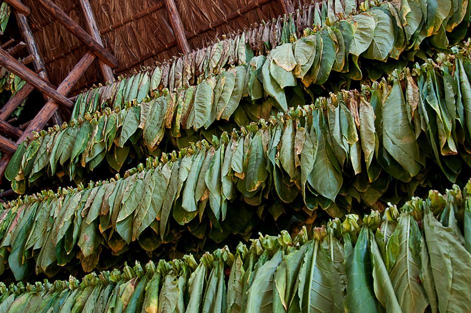 Trocknen der Tabakblätter
