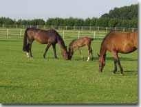 Holsteiner Pferde