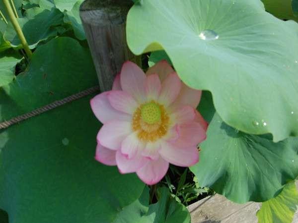 ハスは夏を運ぶ花。7月初旬~