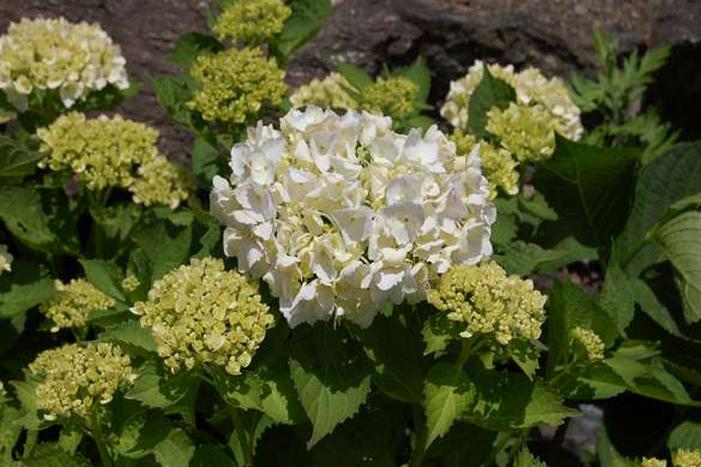 夏には玄関先にアジサイが咲きます
