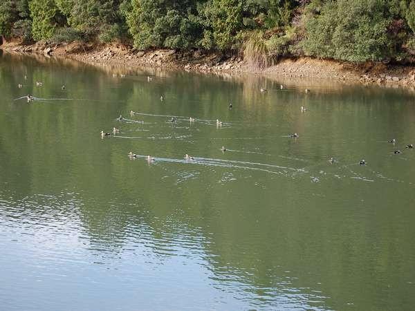 季節の便り 近隣池の鴨群