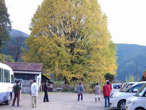 山里に秋を告げる県の天然記念物「福定の大銀杏」