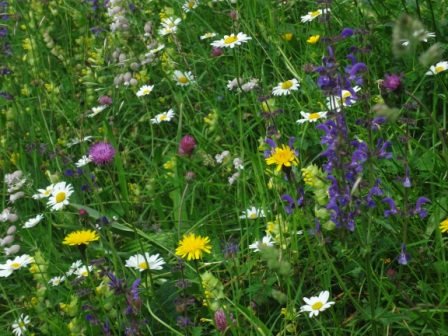 In der Wildiheuplangg Vorläubli wachsen ein paar seltene Arten für unsere Region. Im Bild die blauen Blüten von Wiesen-Salbei.