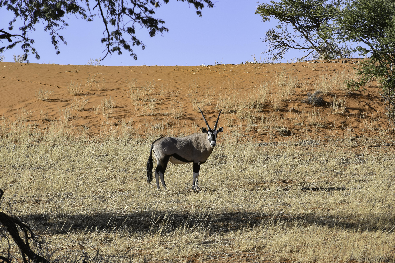 Un orice nel Kalahari