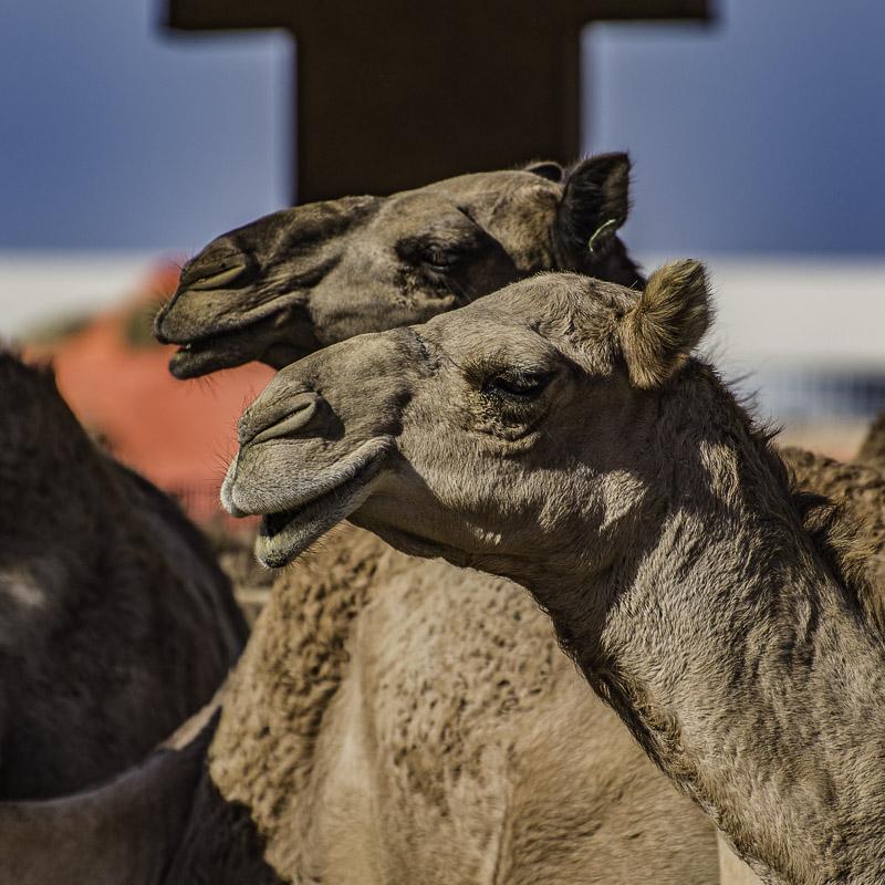 Al Ain - Camel Souk