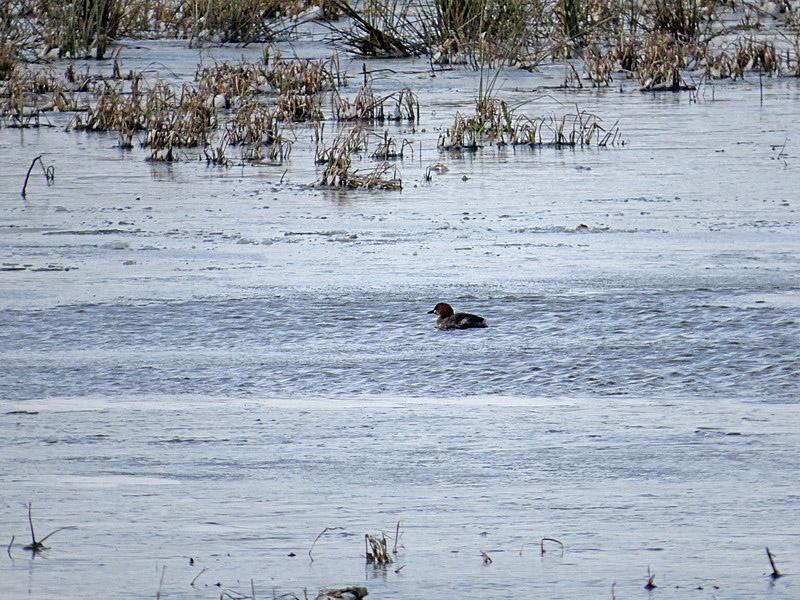 Ein einsamer Zwergtaucher schwimmt in großer Entfernung in einer offenen Wasserfläche.