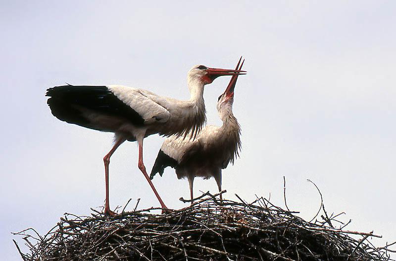 Beide Altvögel haben sich gefunden