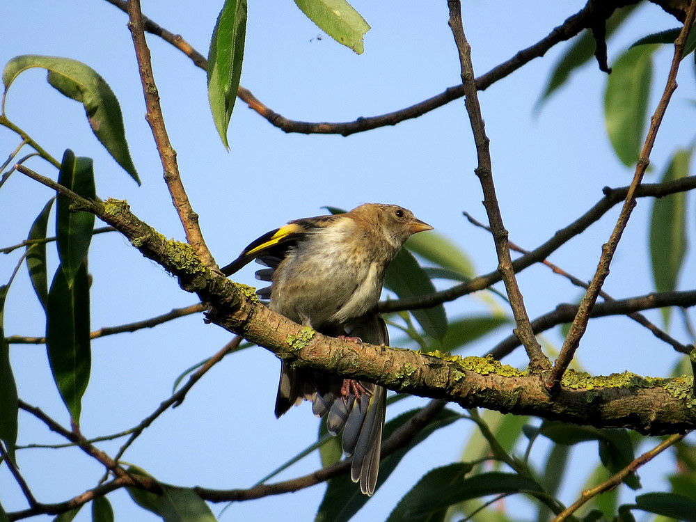 Grünfink als Jungvogel