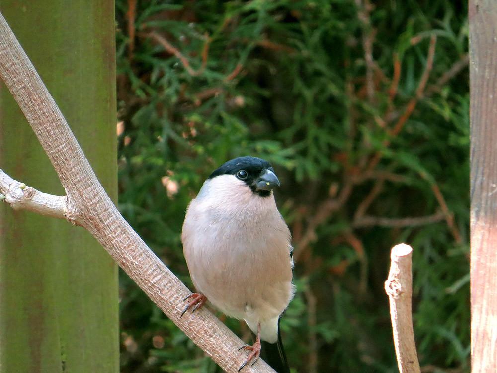 Frau Dompfaff ist wie üblich in der Vogelwelt dezenter gefärbt