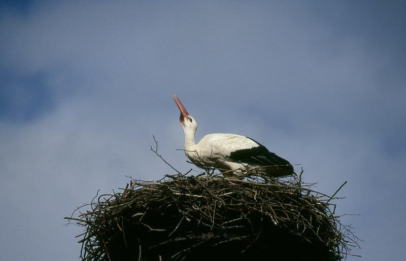 Klappernder Storch auf dem Horst