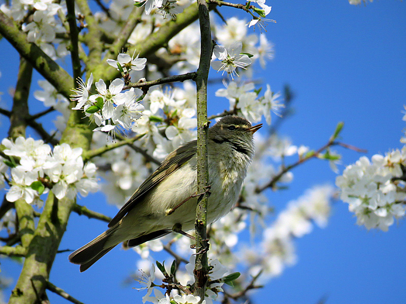 Ein Zilpzalp inmitten der Frühjahrsblüten