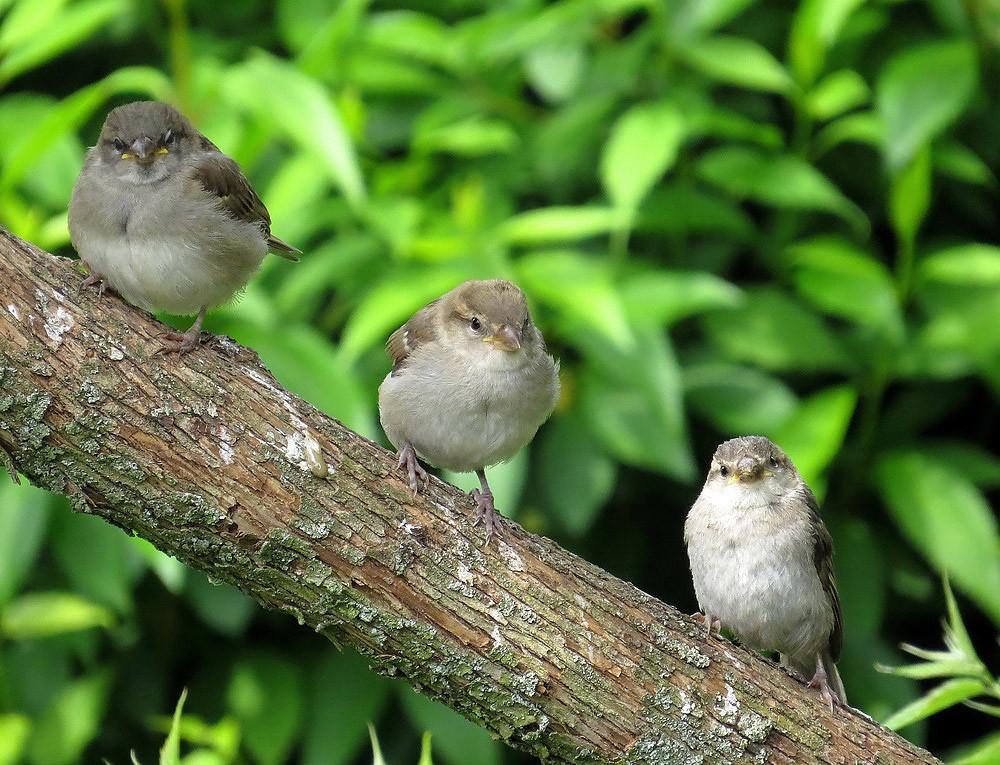 Eine Jungspatzenbande aus einem Nest