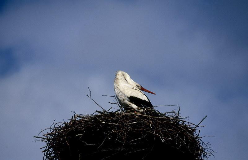 Ein Balzklappern auf dem Nest mit weit zurück gelegtem Kopf