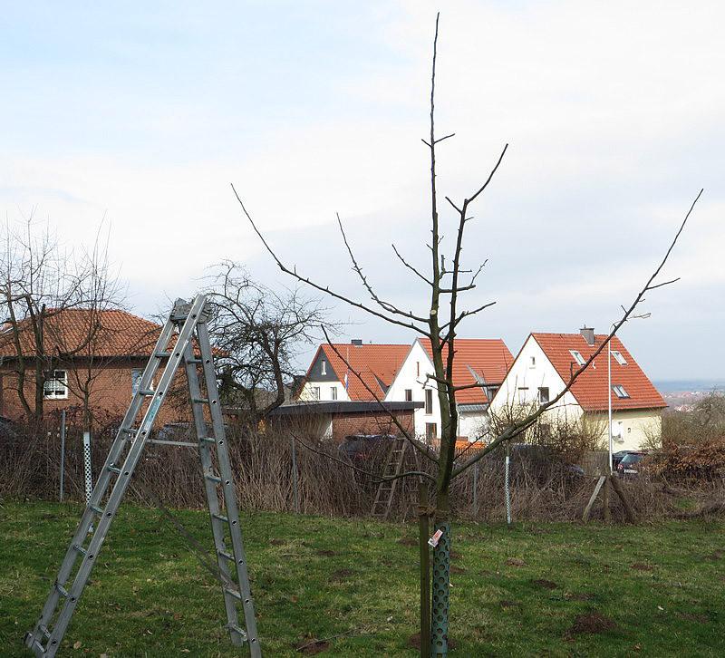 Ein weiterer Apfelbaum nach dem Schnitt.