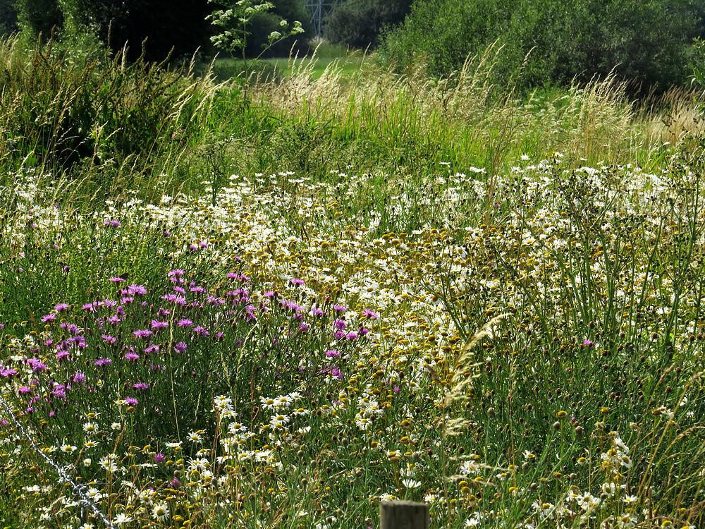 Wildblumen neben Brachwiese