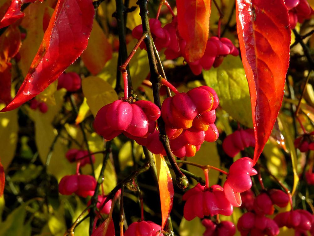 Das Pfaffenhütchen: Schön, aber die ganze Pflanze ist giftig