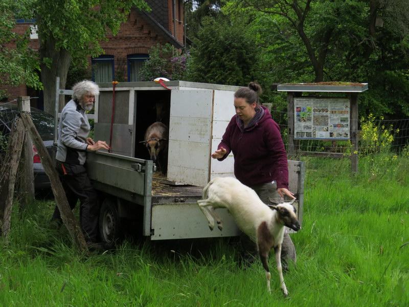 Das erste der Schafe springt ins Freie