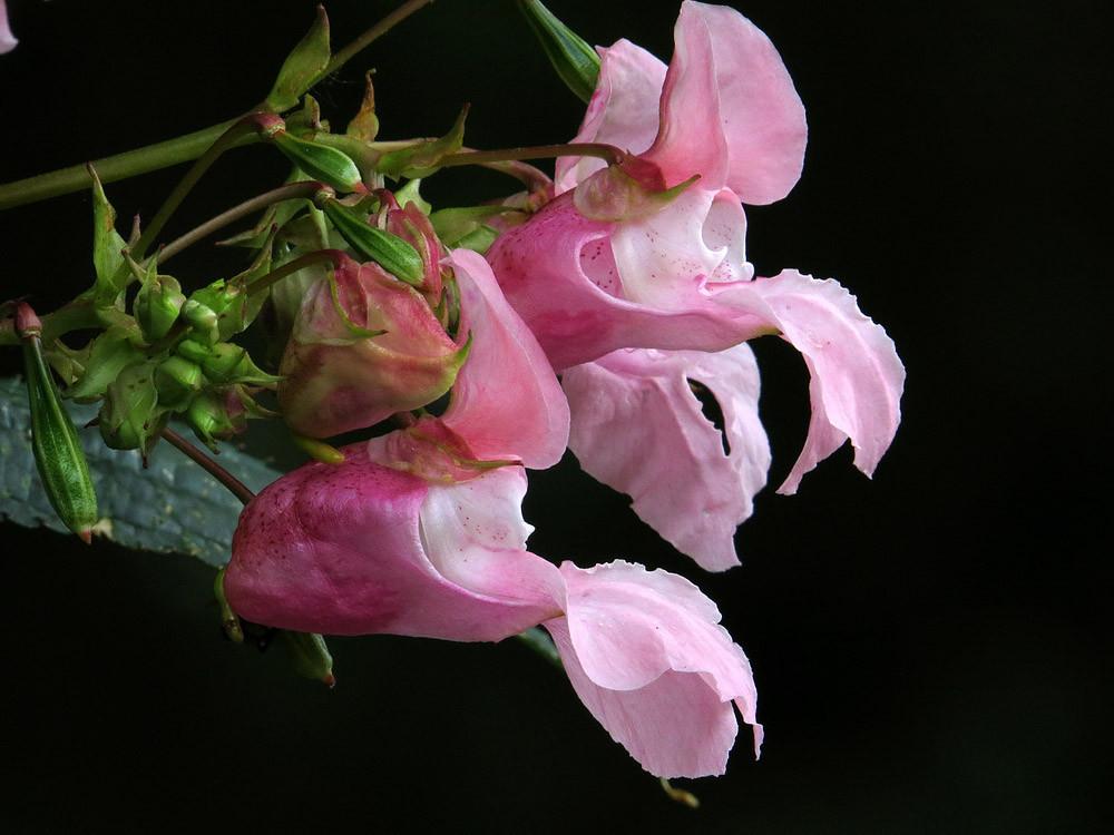 Springkraut: Wichtige Nahrungsquelle für Hummeln und Bienen