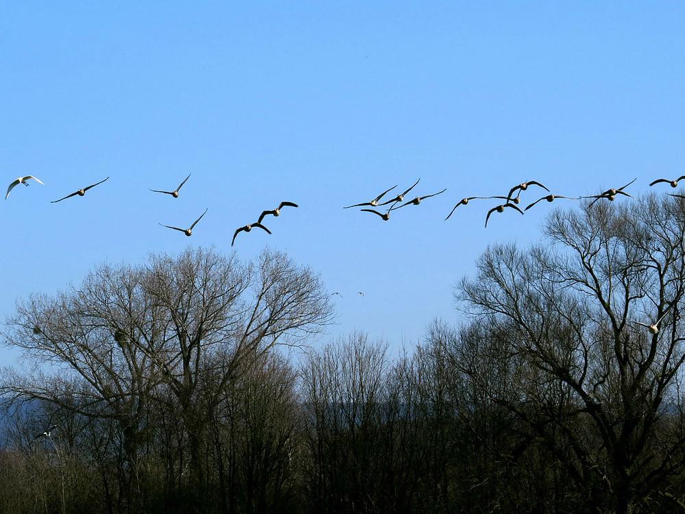 Ein Schwarm Blessgänse fliegt ein, mit Silberreiher links