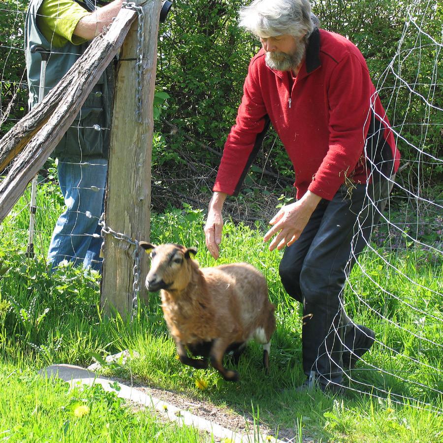 Und schon stürmt das Schaf los in die neue Freiheit
