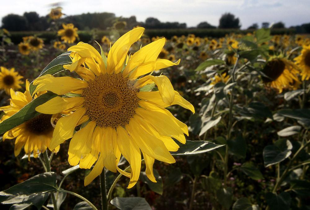 Sonnenblumen, die größten Herbstblumen