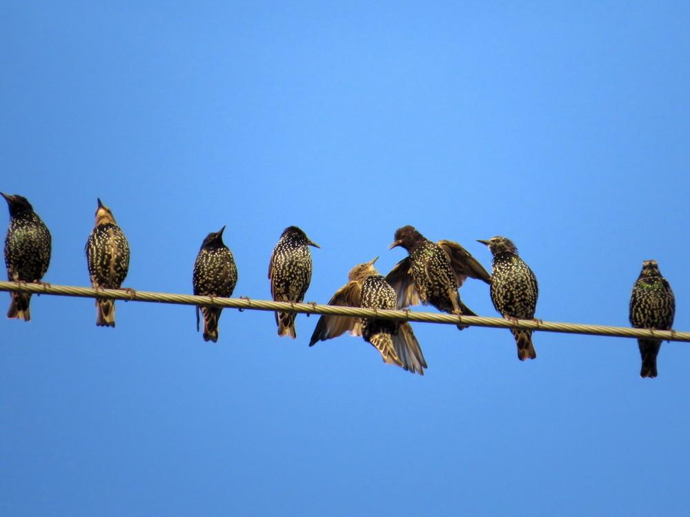 Rangniedrigere Stare (Jungvögel, heller Kopf) werden weggebissen.