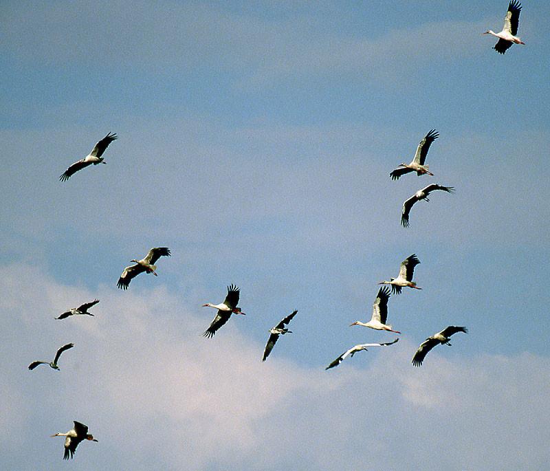 In diesem Schwarm fliegen auch 3 Graureiher mit
