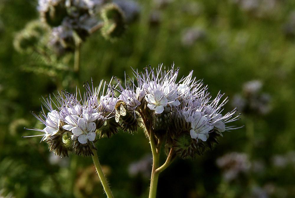 Phacelia, auch Bienenweide genannt wegen des Nektars