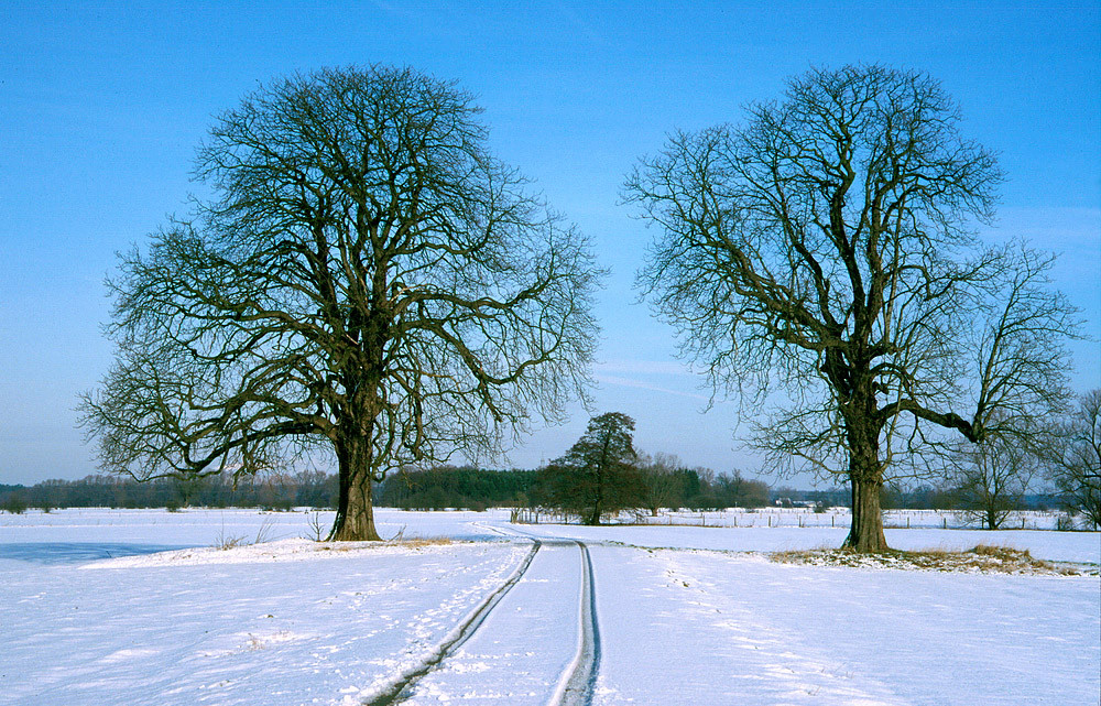 Winter - Das Tor zur Bückeburger Niederung, zwei Kastanien