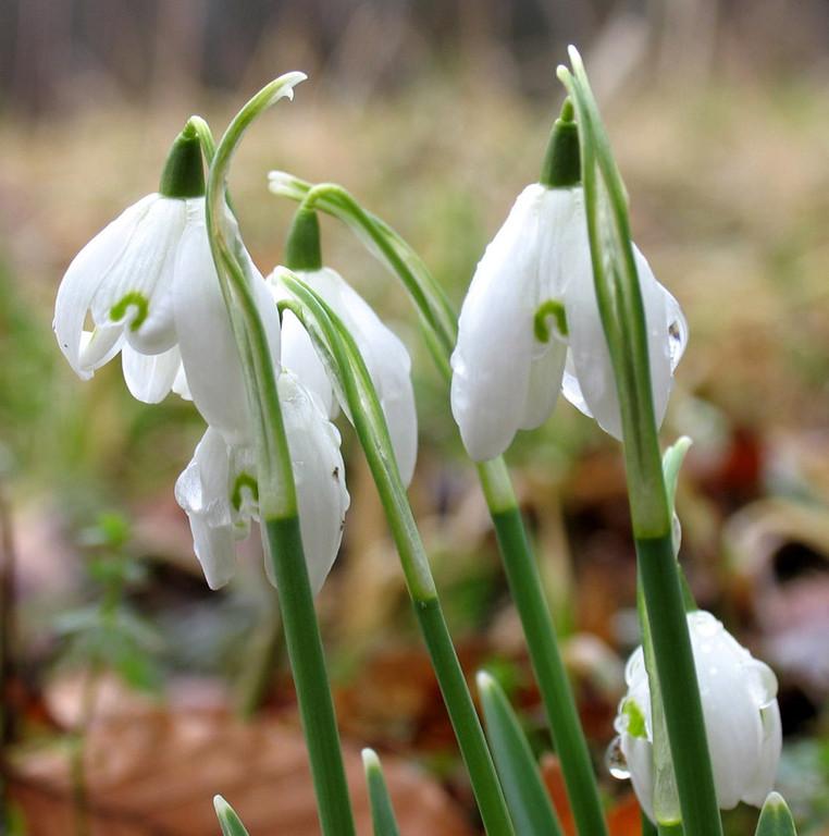 Am 25. Februar: Kein Schnee mehr, aber die Schneeglöckchen blühen auf der Streuobstwiese