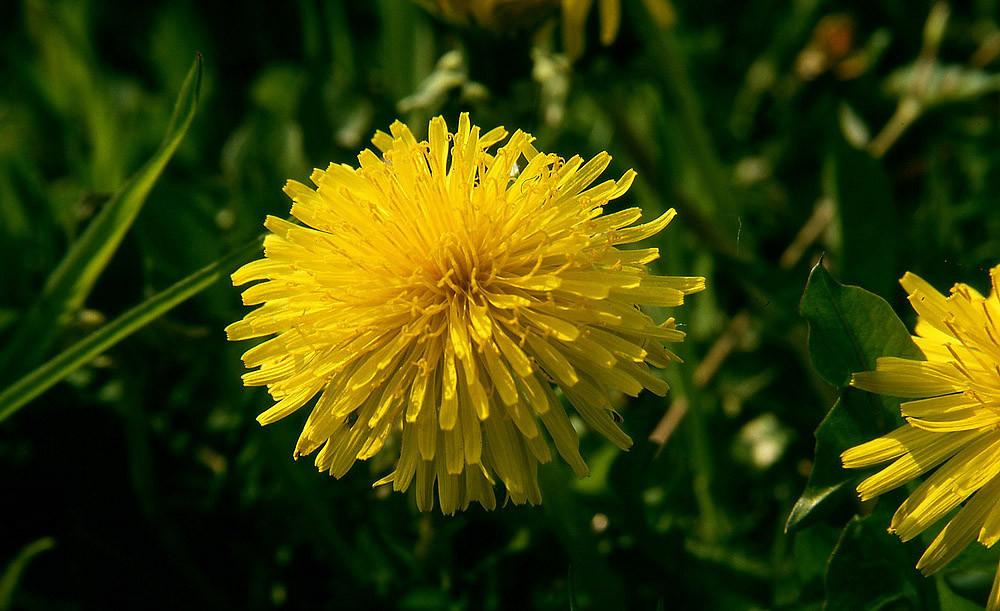 Löwenzahn-Blüte (Kuhblume, Butterblume)
