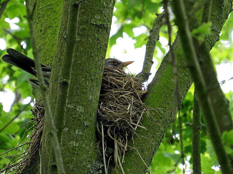 Wenig später saß sie auf dem Nest
