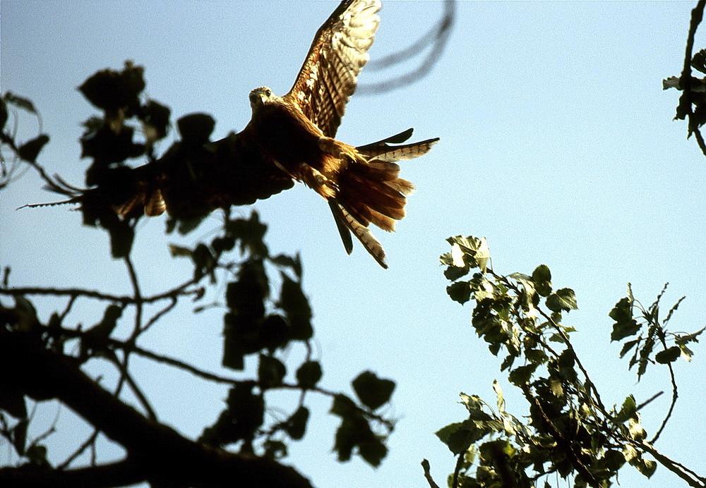 Der Rotmilan ruhte im Baum und flog auf, als ich näher kam