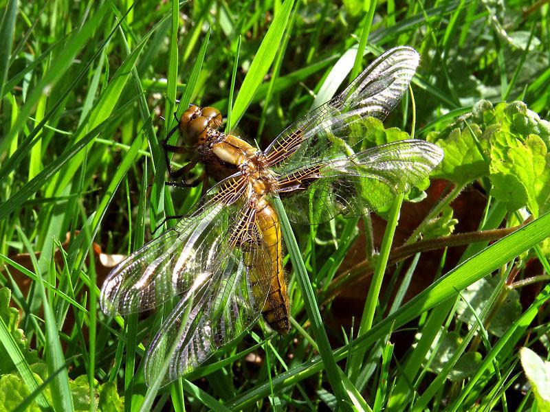 Ein Plattbauch, eine große Libellenart