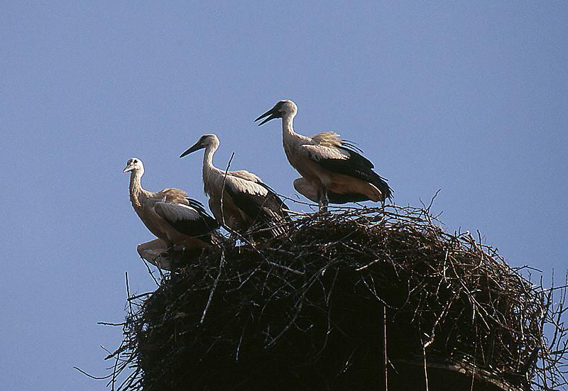 Jungstörche sind geschlüpft und schauen aus dem Nest