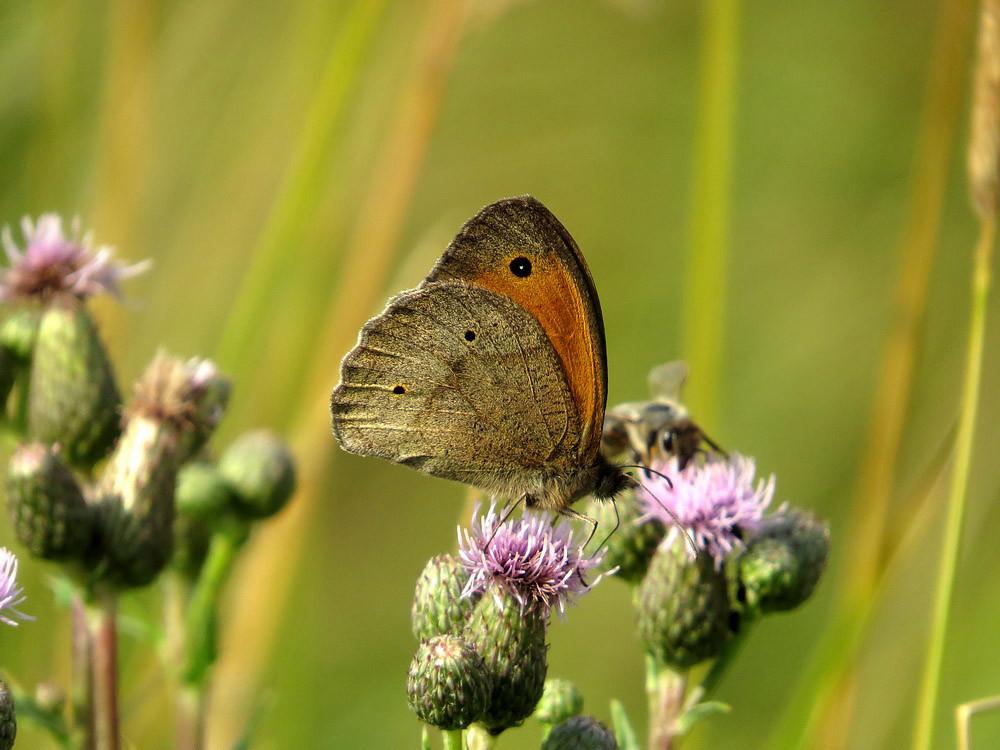 Ochsenauge - der häufigste Schmetterling bei uns