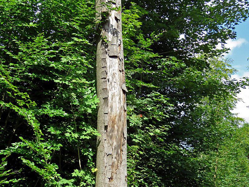 Hier hilft keine Sonnenmilch mehr: Ein Baum mit Sonnenbrand