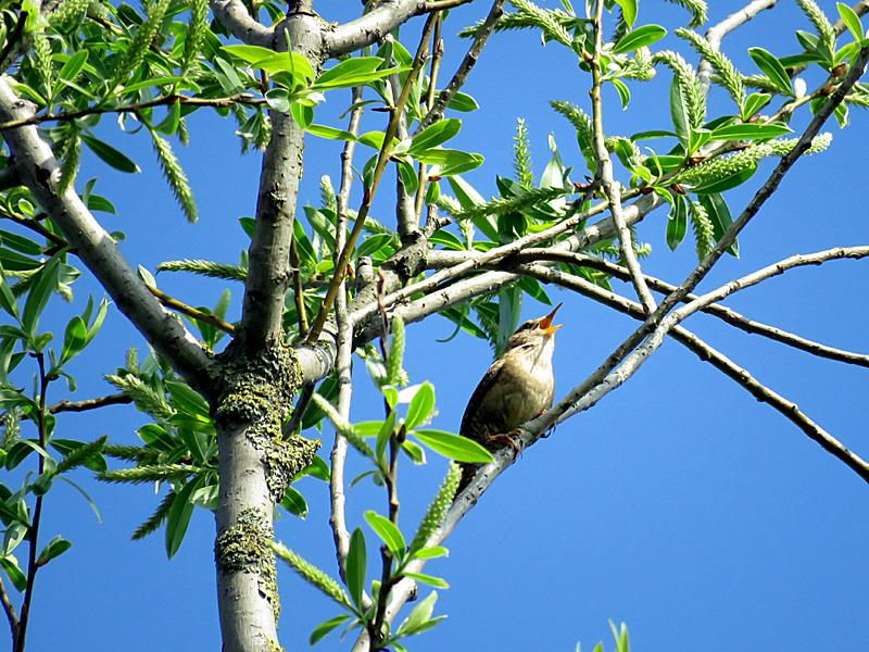 Der Zilpzalp: Ein Vogel, der seinen Namen aussprechen kann