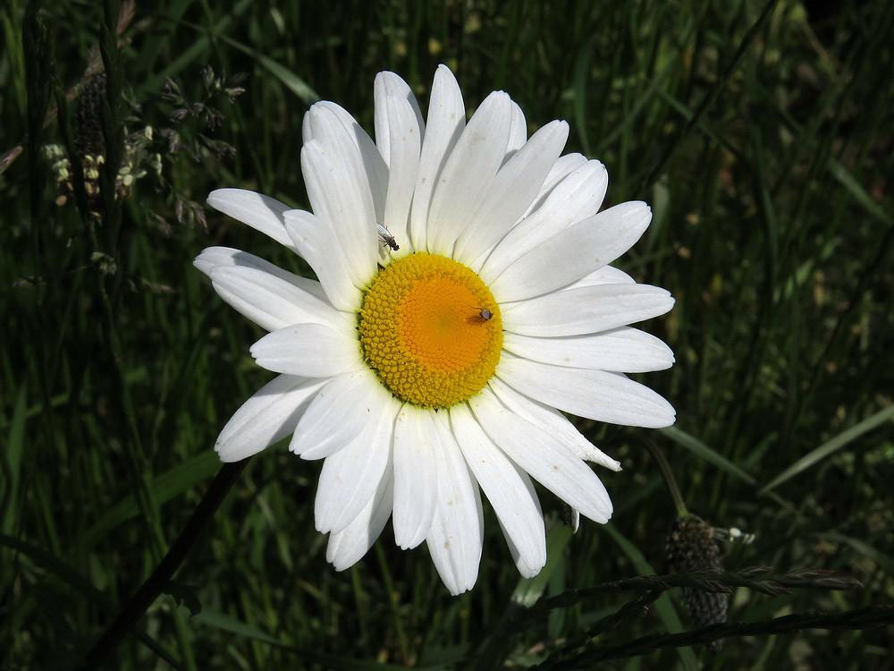 Die große weiße Margerite