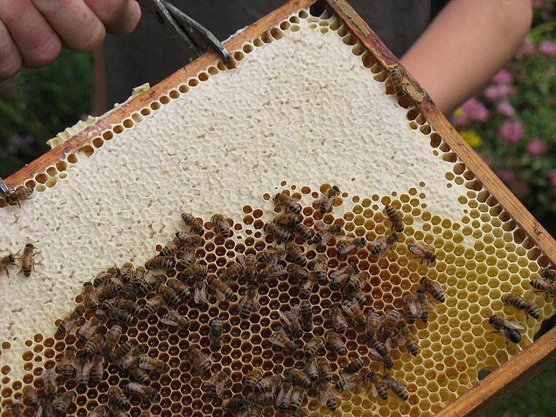 Alle Waben, ob mit Eiern oder Honig, sind mit Wachs verschlossen