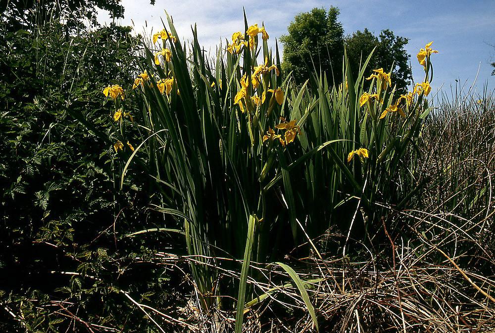 Die Sumpf-Schwertlilie