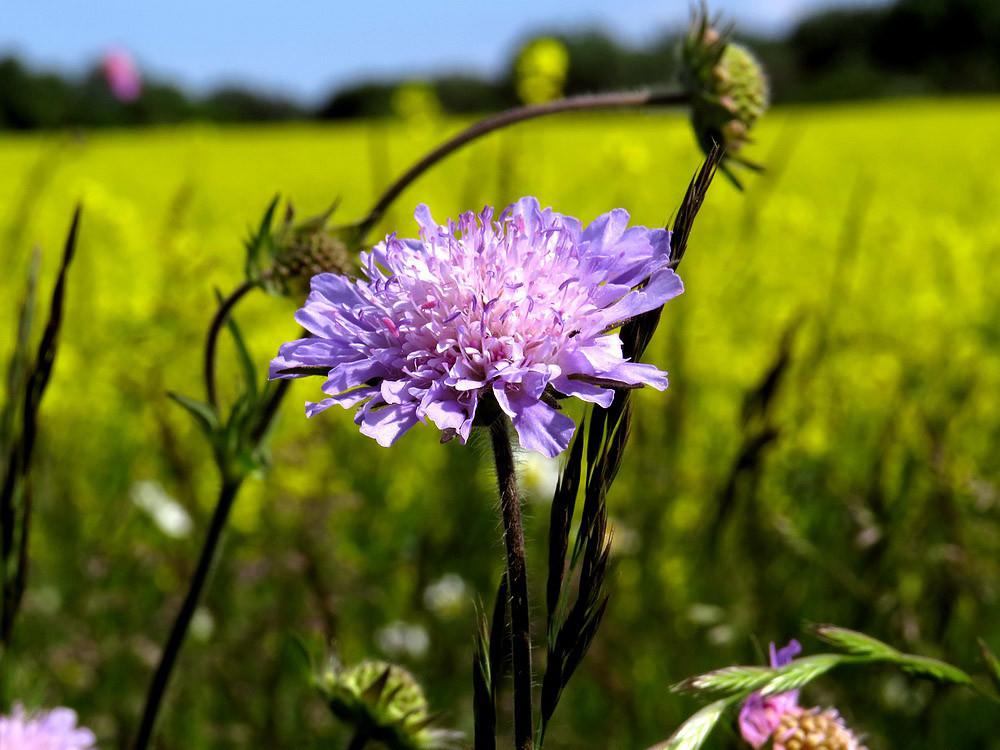 Die Acker-Witwenblume