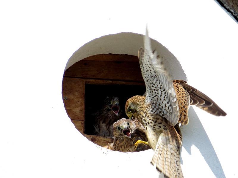 Der weibliche Turmfalke kommt mit einer Maus in der linken Kralle