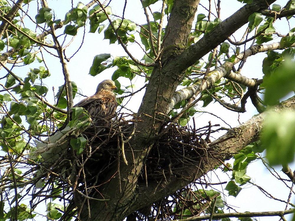 Der weibliche Rotmilan schaut auf die in Nestmitte fressenden Jungvögel