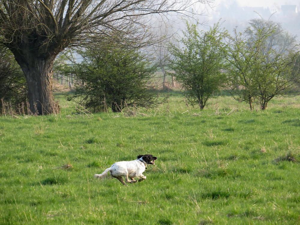 Dieser Hund wildert und jagt die Gruppe Rehe