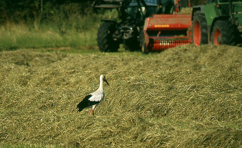 Gemähte Wiesen und Felder werden gerne abgesucht